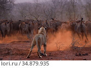 African lion (Panthera leo) female confronted by a herd of African... Стоковое фото, фотограф Staffan Widstrand / Nature Picture Library / Фотобанк Лори