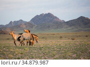 Przewalski horse (Equus ferus przewalskii), four mares grazing in... Стоковое фото, фотограф Cyril Ruoso / Nature Picture Library / Фотобанк Лори