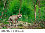Red fox (Vulpes vulpes) cub outside den. Yonne, Bourgogne-Franche... Стоковое фото, фотограф Cyril Ruoso / Nature Picture Library / Фотобанк Лори