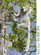 Silky sifaka (Propithecus candidus) in tree, Marojejy National Park, Madagascar. Critically endagered species. Стоковое фото, фотограф Bernard Castelein / Nature Picture Library / Фотобанк Лори