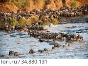 Eastern White-bearded Wildebeest herd (Connochaetes taurinus) crossing the Mara River. Masai Mara National Reserve, Kenya. Стоковое фото, фотограф Eric Baccega / Nature Picture Library / Фотобанк Лори