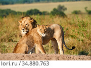 African lion (Panthera leo) and lioness after mating, Masai Mara National Reserve, Kenya. Стоковое фото, фотограф Eric Baccega / Nature Picture Library / Фотобанк Лори