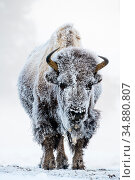 American bison (Bison bison) female covered in hoar frost near hot spring, portrait. Midway Geyser Basin, Yellowstone National Park, USA. February. Стоковое фото, фотограф Nick Garbutt / Nature Picture Library / Фотобанк Лори