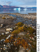 Dwarf willows add color along a small glacial stream before icebergs in Hare Fjord, Scoresby Sund, Greenland, August. Стоковое фото, фотограф John Shaw / Nature Picture Library / Фотобанк Лори