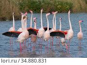 Greater flamingo (Phoenicopterus roseus) courtship display, Pont Du... Стоковое фото, фотограф Edwin Giesbers / Nature Picture Library / Фотобанк Лори