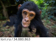 Eastern chimpanzee (Pan troglodytes schweinfurtheii) infant male 'Gizmo' aged 4 years portrait . Gombe National Park, Tanzania. May 2014. Стоковое фото, фотограф Anup Shah / Nature Picture Library / Фотобанк Лори