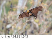 Grey-headed Flying-fox (Pteropus poliocephalus) female in flight with baby/pup hanging on underneath. Yarra Bend Park, Kew, Victoria, Australia. December 2019. Редакционное фото, фотограф Doug Gimesy / Nature Picture Library / Фотобанк Лори