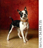 Reichert Carl - a French Bulldog - Austrian School - 19th Century. Редакционное фото, фотограф Artepics / age Fotostock / Фотобанк Лори