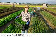 Successful female horticulturist with harvested corn salad on plantation. Стоковое фото, фотограф Яков Филимонов / Фотобанк Лори