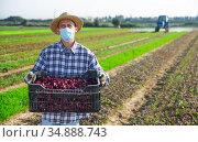 Farmworker in medical mask with box of red spinach on field. Стоковое фото, фотограф Яков Филимонов / Фотобанк Лори