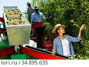 Woman picking pears on harvesting platform. Стоковое фото, фотограф Яков Филимонов / Фотобанк Лори