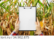 Hands holding a clipboard with blank white paper on maize corn field... Стоковое фото, фотограф Olena Mykhaylova / easy Fotostock / Фотобанк Лори