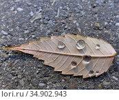 Autumnal colored beech leaf on a street with rain drops. Стоковое фото, фотограф Hans-Joachim Schneider / easy Fotostock / Фотобанк Лори