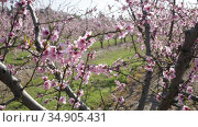 Closeup of peach flowers on tree branches in spring orchard. Стоковое видео, видеограф Яков Филимонов / Фотобанк Лори