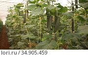 Closeup of fresh cucumbers ripening on hanging stalks in greenhouse. Стоковое видео, видеограф Яков Филимонов / Фотобанк Лори