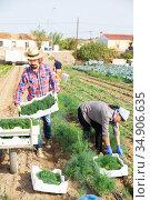 People picking organic dill on farm plantation. Стоковое фото, фотограф Яков Филимонов / Фотобанк Лори