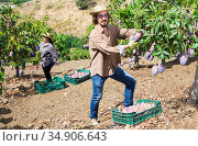Gardener gathering crop of ripe mango fruits in orchard. Стоковое фото, фотограф Яков Филимонов / Фотобанк Лори