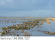 Large, dense flock of Wigeon (Anas penelope), Common Teal (Anas crecca) and Northern shoveler (Anas / Spatula clypeata) resting on largely flooded marshy... Стоковое фото, фотограф Nick Upton / Nature Picture Library / Фотобанк Лори
