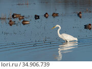 Great white egret (Egretta alba) foraging near Wigeon (Anas penelope) resting on partially flooded pastureland, Catcott Lows National Nature Reserve, Somerset, UK, January. Стоковое фото, фотограф Nick Upton / Nature Picture Library / Фотобанк Лори