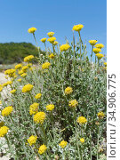 Eternal / Everlasting flower (Helichrysum stoechas) clumps flowering on sand dunes behind a beach, near Arta, Majorca east coast, May. Стоковое фото, фотограф Nick Upton / Nature Picture Library / Фотобанк Лори