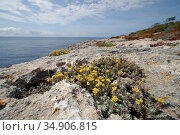 Eternal / Everlasting flower (Helichrysum stoechas) clump flowering on limestone cliff tops, Majorca south coast, May. Стоковое фото, фотограф Nick Upton / Nature Picture Library / Фотобанк Лори