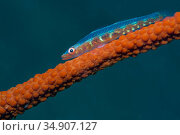 Large whip goby (Bryaninopsis amplus) on whip coral. Lembeh Strait, North Sulawesi, Indonesia. Стоковое фото, фотограф Georgette Douwma / Nature Picture Library / Фотобанк Лори