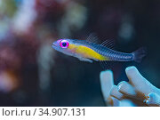 Pinkeye goby (Bryaninops natans). Lembeh Strait, North Sulawesi, Indonesia. Стоковое фото, фотограф Georgette Douwma / Nature Picture Library / Фотобанк Лори