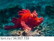 Scorpionfish (Rhinopius eschmeyeri) Lembeh Strait, North Sulawesi, Indonesia. Стоковое фото, фотограф Georgette Douwma / Nature Picture Library / Фотобанк Лори