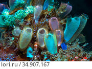 Blue club tunicate (Rhopalaea crassa). Lembeh Strait, North Sulawesi, Indonesia. Стоковое фото, фотограф Georgette Douwma / Nature Picture Library / Фотобанк Лори