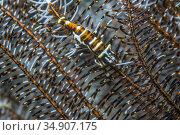 Crinoid shrimp (Laomenes sp.) Lembeh Strait, North Sulawesi, Indonesia. Стоковое фото, фотограф Georgette Douwma / Nature Picture Library / Фотобанк Лори
