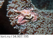 Spotted porcelain crab (Neopetrolisthes maculatus). Lembeh Strait, North Sulawesi, Indonesia. Стоковое фото, фотограф Georgette Douwma / Nature Picture Library / Фотобанк Лори