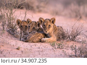 Lion (Panthera leo) cubs, Kgalagadi Transfrontier Park, South Africa. Стоковое фото, фотограф Ann & Steve Toon / Nature Picture Library / Фотобанк Лори