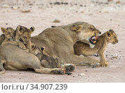 Lioness (Panthera leo) with suckling cubs, Kgalagadi Transfrontier Park, South Africa. Стоковое фото, фотограф Ann & Steve Toon / Nature Picture Library / Фотобанк Лори