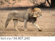 Lion (Panthera leo) walking, Kgalagadi Transfrontier Park, South Africa. Стоковое фото, фотограф Ann & Steve Toon / Nature Picture Library / Фотобанк Лори