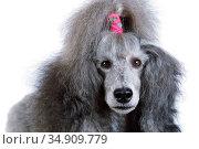 Portrait of a gray standard poodle. Стоковое фото, фотограф Алексей Кузнецов / Фотобанк Лори