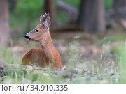 Roe deer (Capreolus capreolus) buck looking away, lying down in forest. Peerdsbos, Brasschaat, Belgium. May. Стоковое фото, фотограф Bernard Castelein / Nature Picture Library / Фотобанк Лори