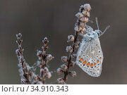 Common blue butterfly (Polyommatus icarus) resting on Heather, dew droplets on wings. Klein Schietveld, Brasschaat, Belgium. Стоковое фото, фотограф Bernard Castelein / Nature Picture Library / Фотобанк Лори