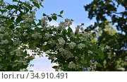 Blooming Jasmine (Philadelphus) on the background of blue sky with white clouds. Стоковое видео, видеограф Владимир Литвинов / Фотобанк Лори