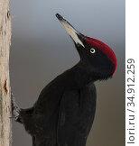Black woodpecker (Dryocopus martius) male, portrait. Kuusamo, Northern Ostrobothnia, Finland. February. Стоковое фото, фотограф Jussi Murtosaari / Nature Picture Library / Фотобанк Лори