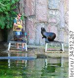 Moscow zoo. Zookeeper feeds female with baby northern fur seals (Callorhinus ursinus) Редакционное фото, фотограф Валерия Попова / Фотобанк Лори