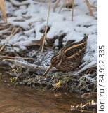 Jacksnipe (Lymnocryptes minimus) in snow at water's edge. Jyvaskyla, Central Finland. February. Стоковое фото, фотограф Jussi Murtosaari / Nature Picture Library / Фотобанк Лори