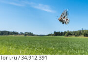 Apollo (Parnassius apollo) butterfly female in flight over field, sphragis present following copulation. Pargas, Aboland, Finland. July 2019. Стоковое фото, фотограф Jussi Murtosaari / Nature Picture Library / Фотобанк Лори