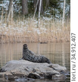 Saimaa ringed seal (Pusa hispida saimensis) hauled out on rock, one of around 410 individuals of this endemic species remaining. Lake Saimaa, Finland. May 2019. Стоковое фото, фотограф Jussi Murtosaari / Nature Picture Library / Фотобанк Лори