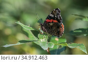 Red admiral (Vanessa atalanta) butterfly resting on leaf. Jyvaskyla, Central Finland. August. Стоковое фото, фотограф Jussi Murtosaari / Nature Picture Library / Фотобанк Лори