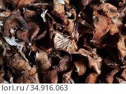 Грибы сушеные. Опята. Стоковое фото, фотограф Анатолий Матвейчук / Фотобанк Лори
