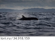 False killer whales (Pseudorca crassidens)  Northern New Zealand Editorial use only. Редакционное фото, фотограф Richard Robinson / Nature Picture Library / Фотобанк Лори