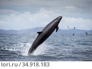 False killer whales (Pseudorca crassidens) breaching,  Northern New Zealand Editorial use only. Редакционное фото, фотограф Richard Robinson / Nature Picture Library / Фотобанк Лори