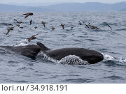 False killer whales (Pseudorca crassidens) surfacing followed by Black petrels (Procellaria parkinson), Northern New Zealand Editorial use only. Редакционное фото, фотограф Richard Robinson / Nature Picture Library / Фотобанк Лори