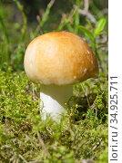 Сыроежка (лат. Russula) растет в лесу. Стоковое фото, фотограф Елена Коромыслова / Фотобанк Лори