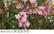 Close-up of blossoming of oleander in the fields in the spring. Стоковое видео, видеограф Яков Филимонов / Фотобанк Лори